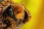 Emerging Blue Mason Bee VII