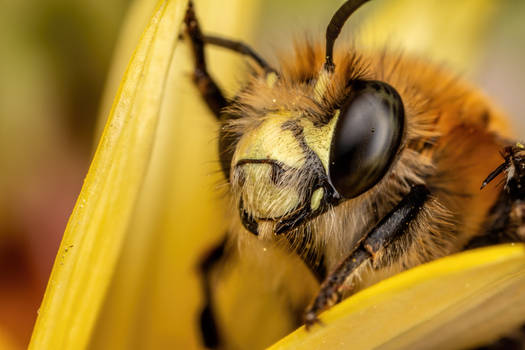 Hairy Footed Bee II