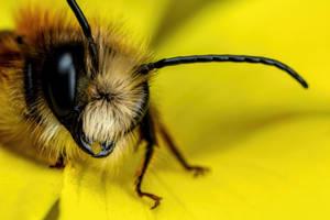 Red Mason Bee III