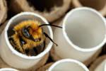 Male Blue Mason Bee