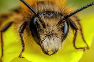 Red Mason Bee V