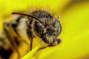 Scissor Bee IV