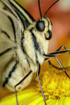 Swallowtail Butterfly at Life Size