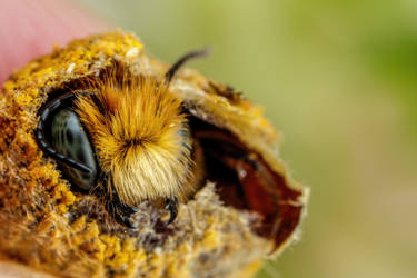 Emerging Blue Mason Bee XII