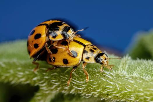 Mating Asian Beetles
