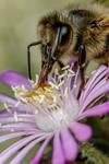 Feeding Honeybee II