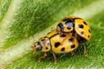 Mating Asian Beetles II