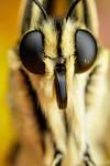 Swallowtail Portrait VI