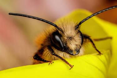 Red Mason Bee VI