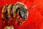 Sweat Bee in a Poppy Flower