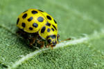 22 Spot Ladybug on a Sunflower Leaf