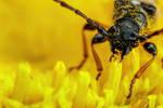 Beetle Eating Daisy Pollen II