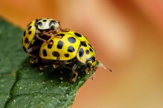 Mating 22 Spot Ladybugs II