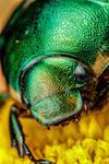 Metallic Chafer Beetle