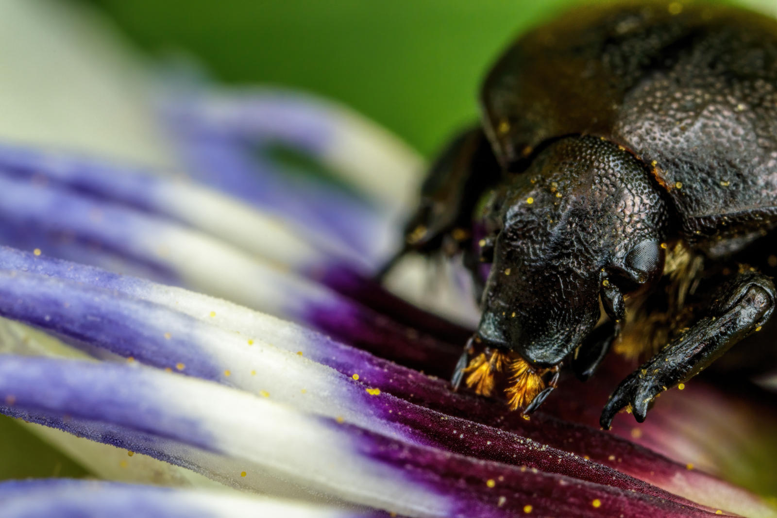 Grazing Chafer Beetle IV