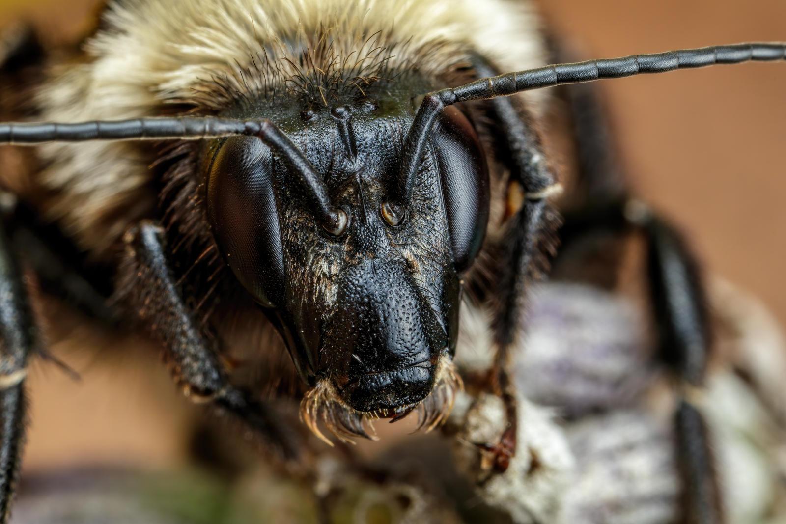 Bumblebee Portrait III