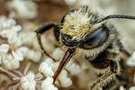 Foraging Leaf Cutter Bee