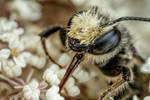 Foraging Leaf Cutter Bee