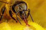 Baited Honeybee II