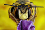European Wool Carder Bee III