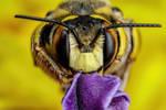 European Wool Carder Bee III