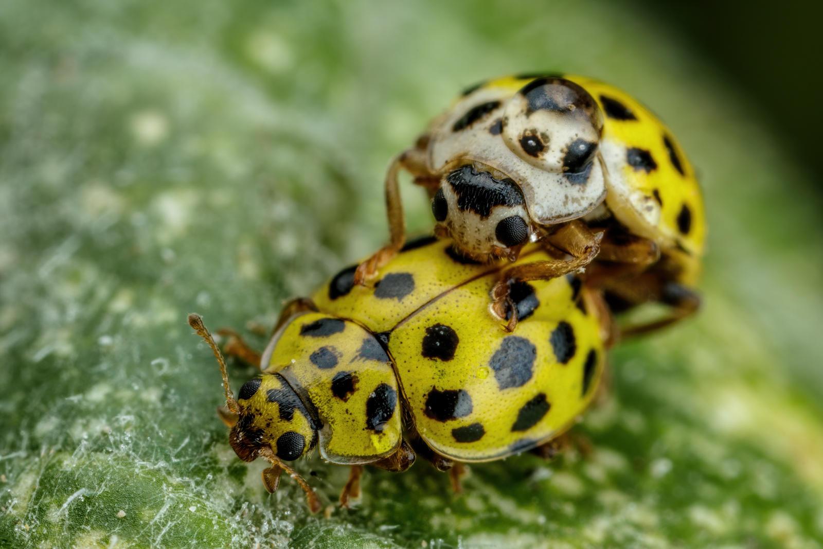 Mating 22 Spot Ladybugs III