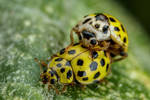 Mating 22 Spot Ladybugs III