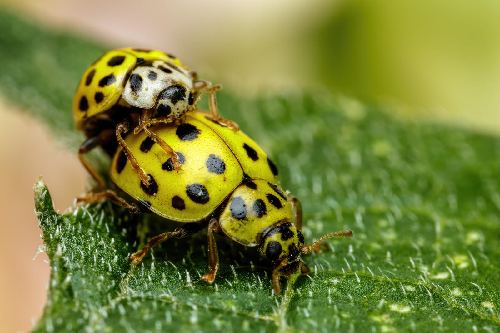 Mating 22 Spot Ladybugs IV