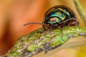 Lavender Beetle on Mint