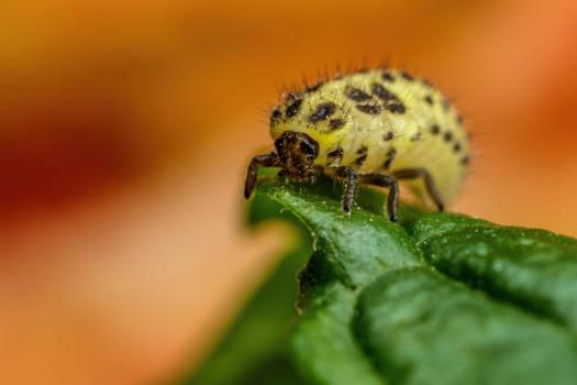22 Spot Ladybug Larva