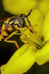 Feeding Hoverfly III