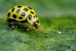 22 Spot Ladybug on Zucchini