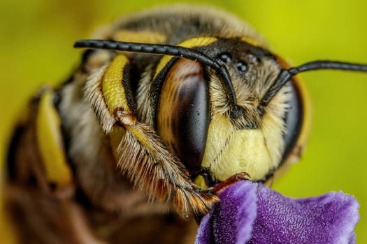 European Wool Carder Bee V