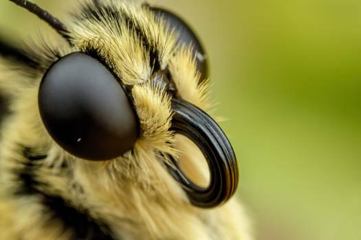 Swallowtail Portrait VII