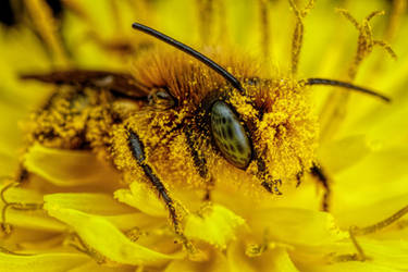 Pollen Covered Blue Mason Bee