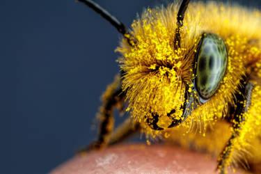Pollen Covered Blue Mason Bee II