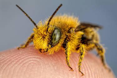 Pollen Covered Blue Mason Bee III