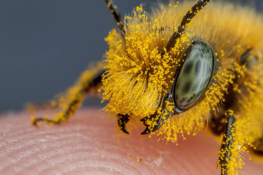 Pollen Covered Blue Mason Bee IV