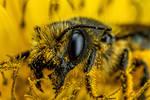 Female Mason Bee