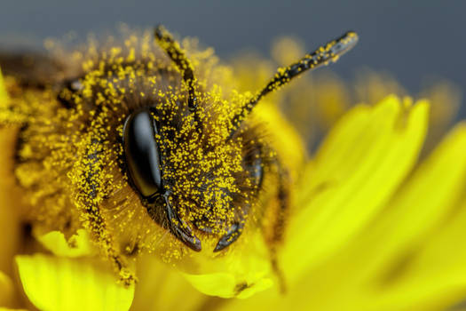 Foraging Mining Bee II
