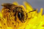 Foraging Mining Bee III