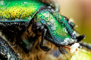 Feeding Chafer Beetle