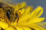 Foraging Mining Bee IV