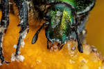 Feeding Chafer Beetle II