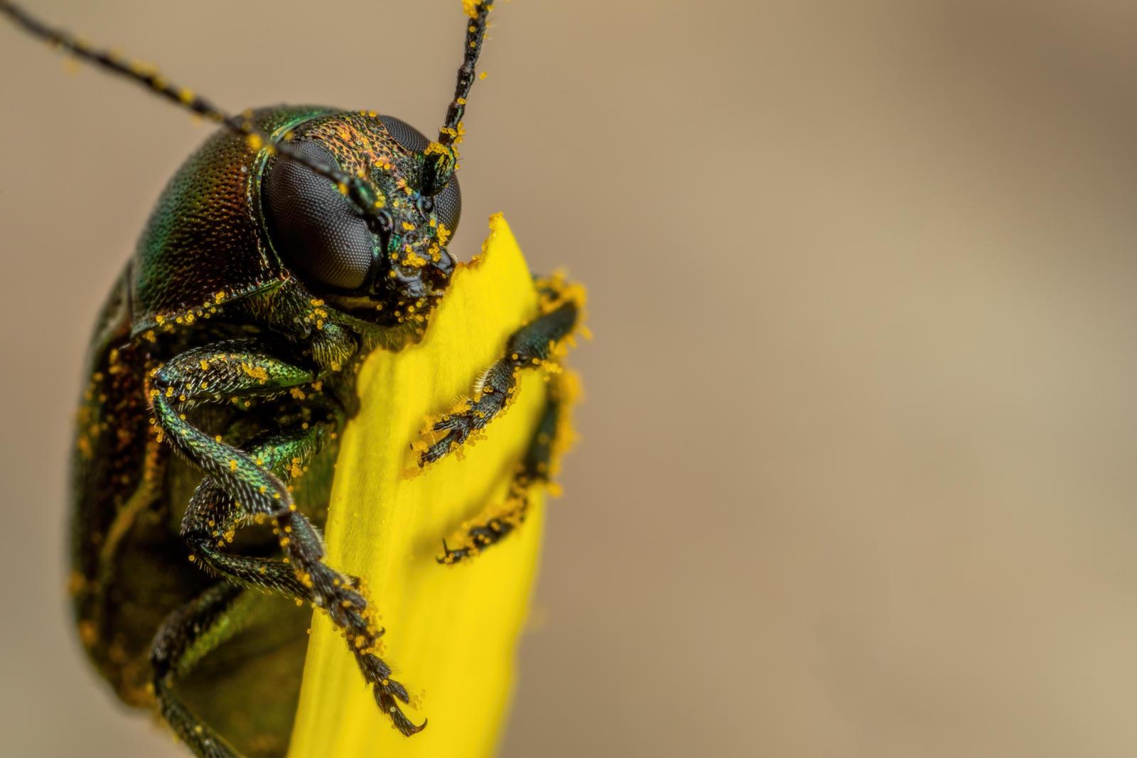 Metallic Beetle