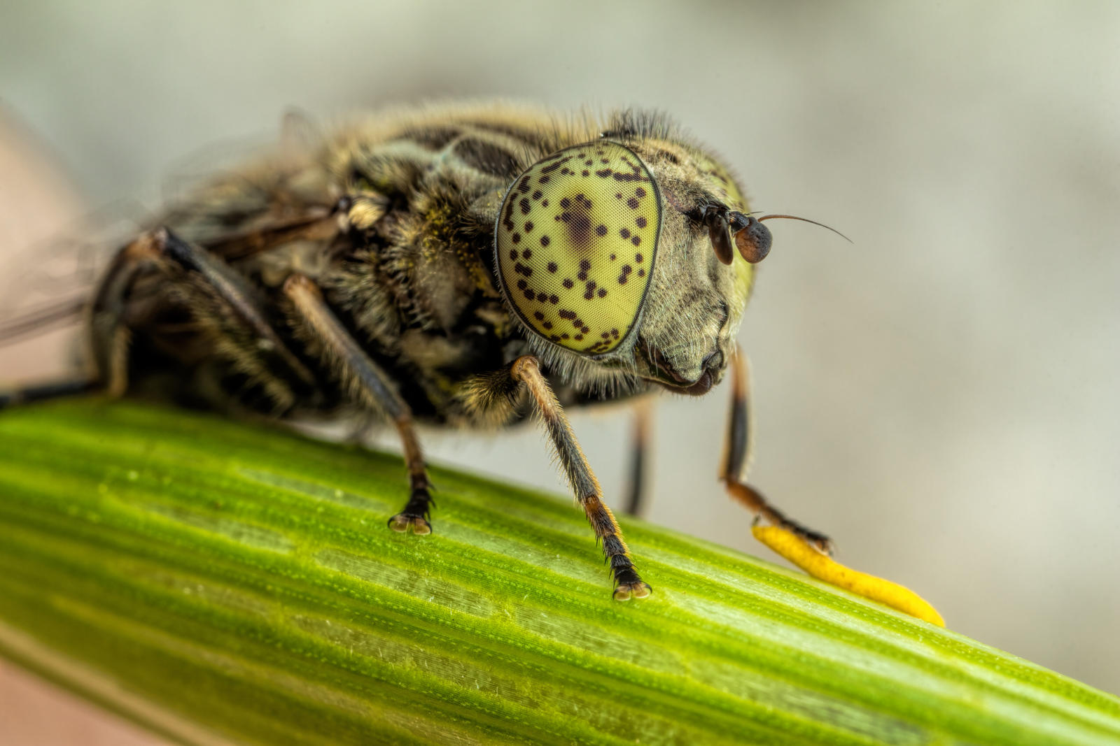 Female Spotted Eye Drone
