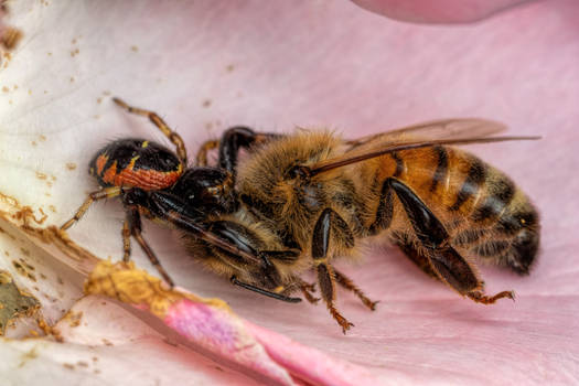 Crab Spider with a Honeybee