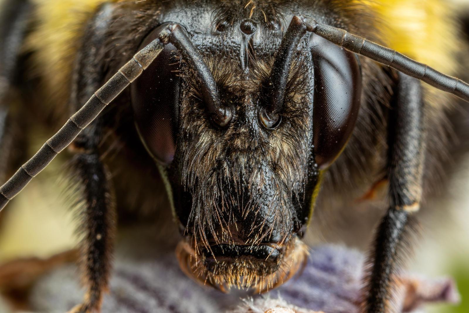 Bumblebee Portrait II