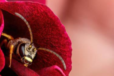 Sweat Bee in a Geranium Flower