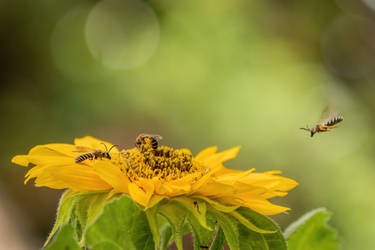 Sweat Bees in a Sunflower
